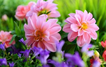 Can You Leave Dahlias In The Ground Over Winter?