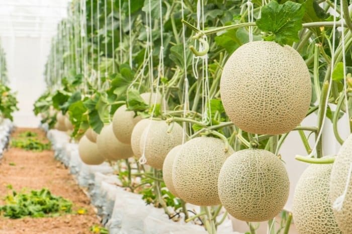 Choose To Grow Cantaloupe That Suits Your Region And Needs