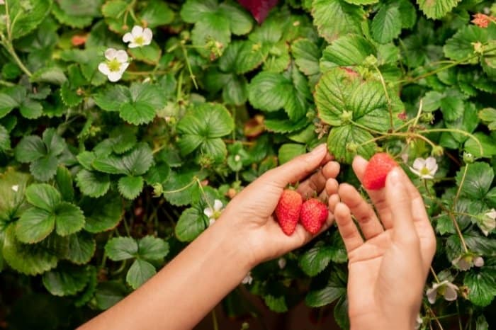 Harvesting And Enjoying Your Strawberries