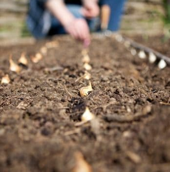 How Deep To Plant Onion Sets - An In-Depth Look
