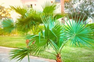 How Long Does it Take for Palm Trees to Grow
