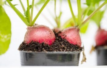 How To Plant Radish Seeds – Step By Step Guide