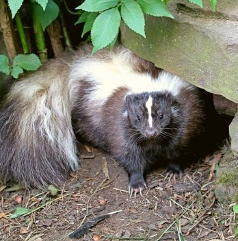How To Scare Skunks Away Without Getting Sprayed