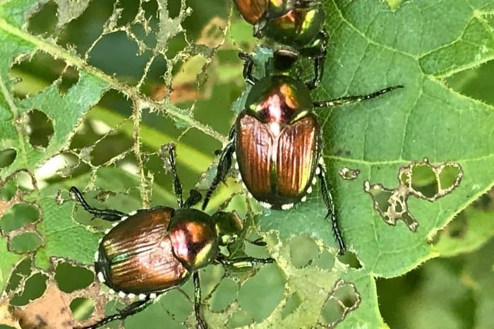 How To Spot Japanese Beetles In Your Plant