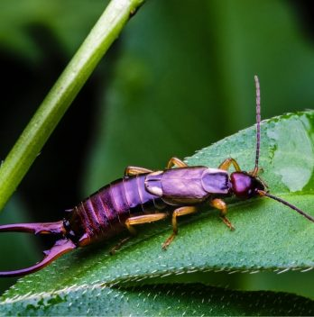 How to Get Rid of Earwig Bugs