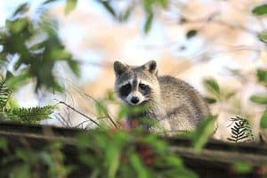 How to Keep Raccoons out of the Garden