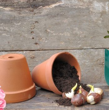 How to Plant Peony Bulbs - An In-depth Look