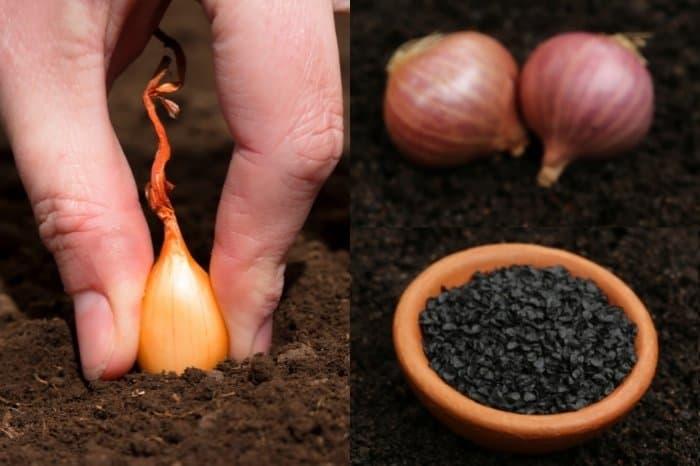 Onion Sets Vs. Onion Seeds