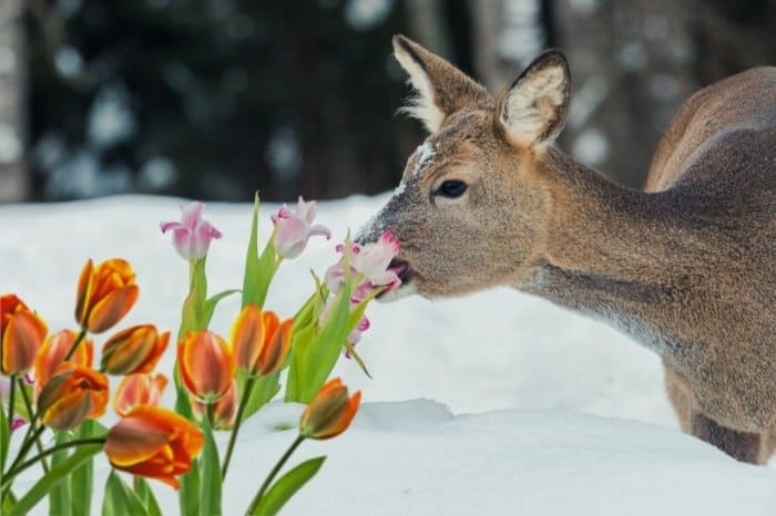 Protecting Your Tulips From Deer