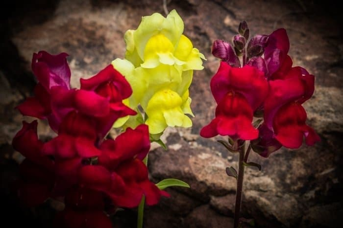 What Are Snapdragons