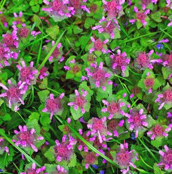What are the Weeds with Purple Flowers Called