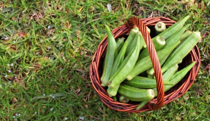 When Is Okra ready To Pick - An Overview