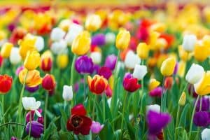 When Should you Plant Tulips