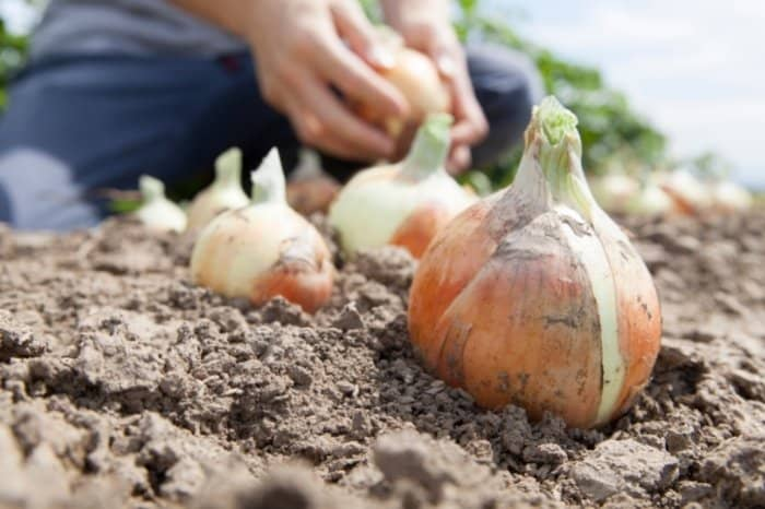 When To Harvest Your Onion Sets