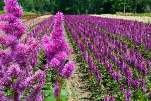 When To Plant Astilbe – An In-depth look