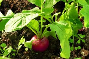 When to Plant Radish - The right time
