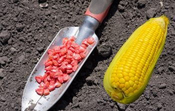 A Simple Guide On How Far Apart To Plant Sweet Corn