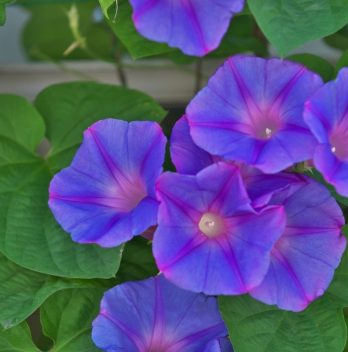 Are Morning Glories Annuals Or Perennials