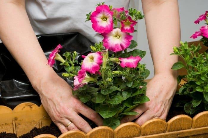 Buying Petunia Plants For Your Garden