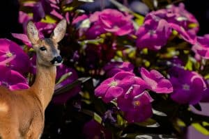 Do Deer Eat Impatiens – Yes or No