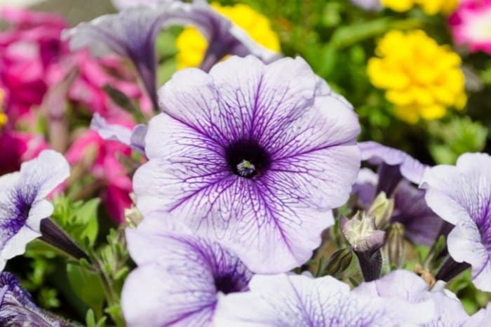 Facts About Petunias