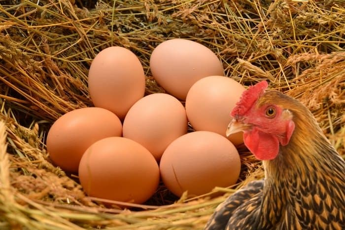 How Long Before Chickens Lay Eggs
