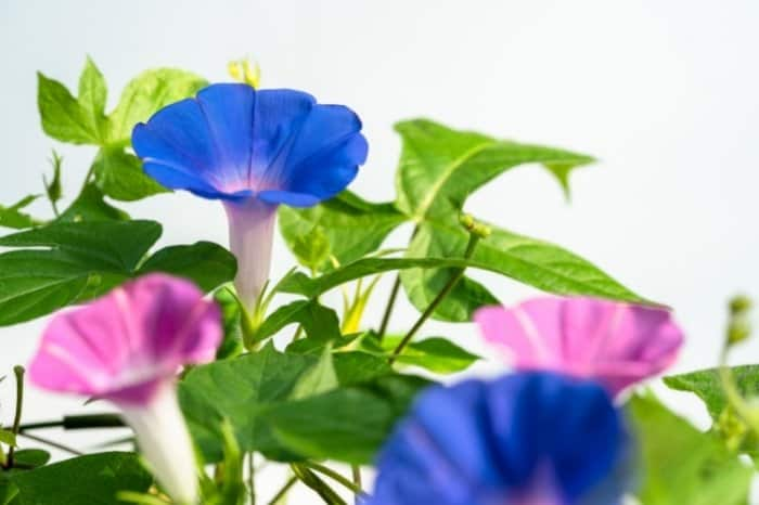 How Long Do Morning Glory Blooms Last