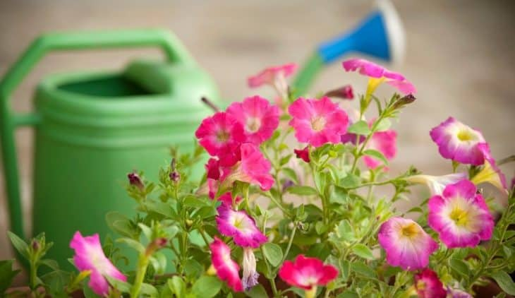 How Often To Water Petunias – A Guide