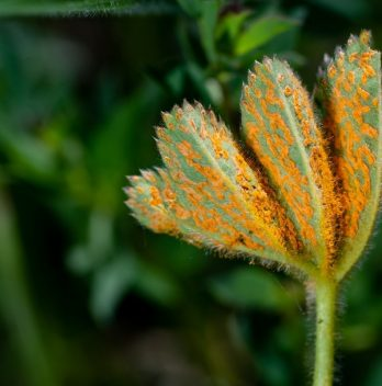 How To Get Rid Of Rust Fungus - An Overview