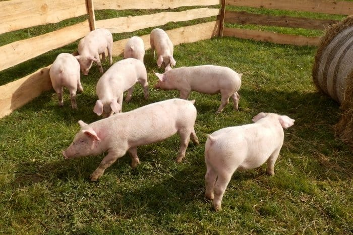 How To Keep Your Pigs Clean And Happy