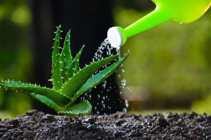 How To Water Aloe Vera The Right Way