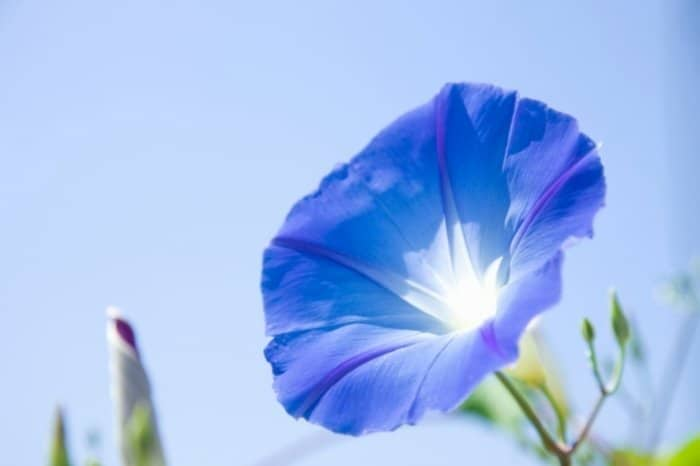 Morning Glories - Perennials Or Annuals