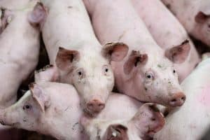 What Is A Group Of Pigs Called – Do You Really Know