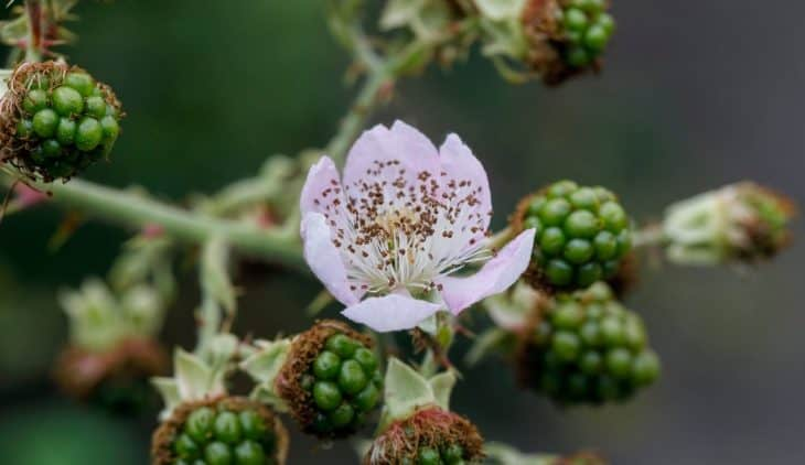 When Do Blackberries Bloom – A Clear Answer