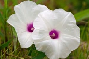 When Do Morning Glory Bloom - An In-depth Look