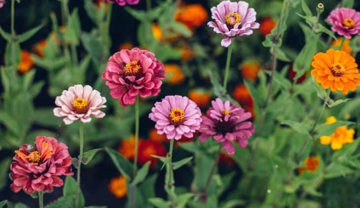Zinnias Sun Or Shade - What Is The Best