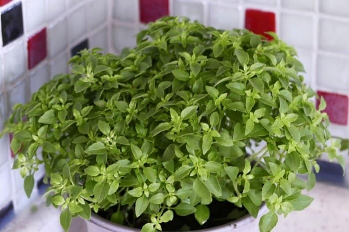 Basil Active Growth And Flowering