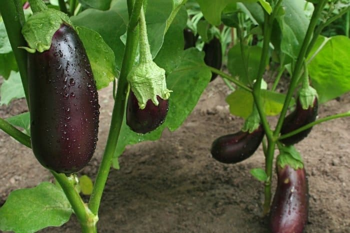 Eggplant Plants - How Long Do They Live
