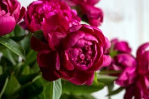How Long Do Peonies Last – A Quick Guide