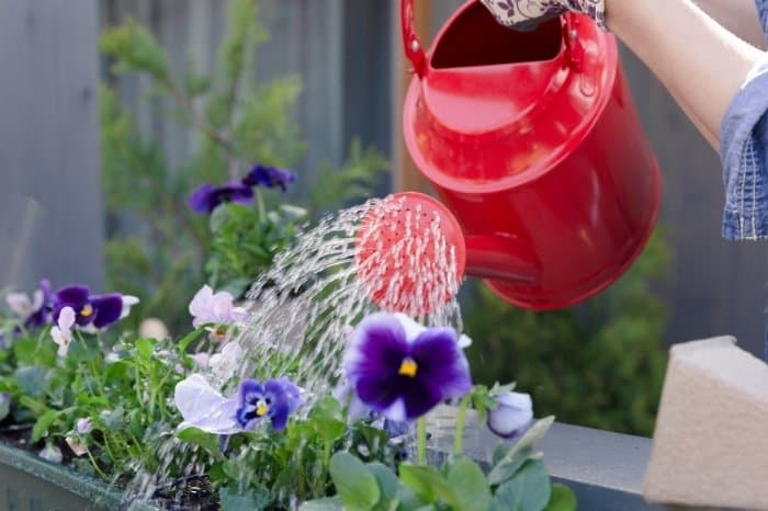 How Often To Water Your Pansies