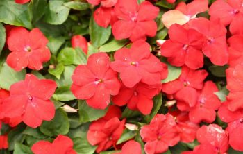 How To Care For Impatiens - A Guide