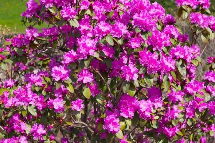 So What Does A Rhododendron Look Like
