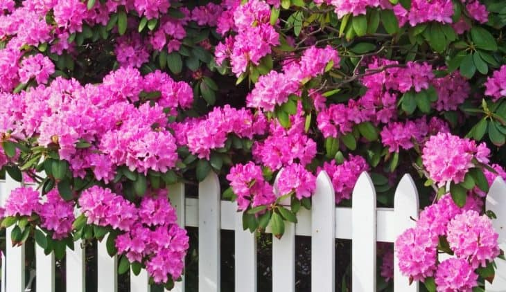 What Does A Rhododendron Look Like – A Deeper Look