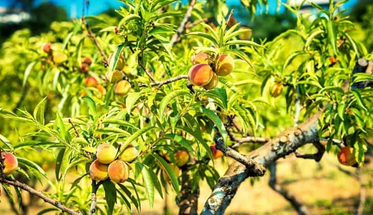 When To Plant A Peach Tree – A Complete Guide