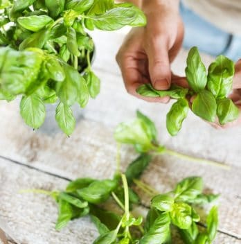 When To Prune Basil For The First Time