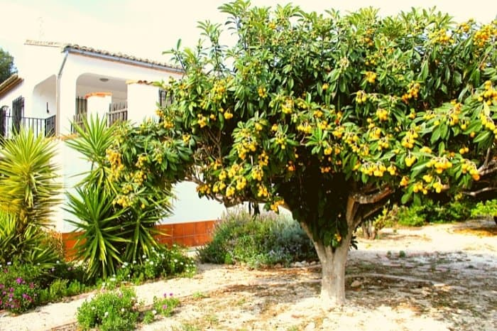 Best Climate To Grow Loquats