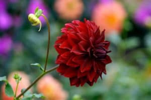 Dahlia Sun Or Shade – Which One Is Best
