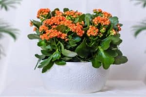 Growing Lantana In Pots - Step By Step Guide