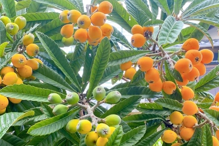 How Long Does A Loquat Tree Take Before Fruiting