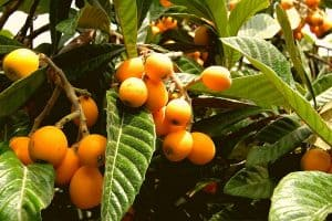 How To Grow A Loquat Tree From Seed